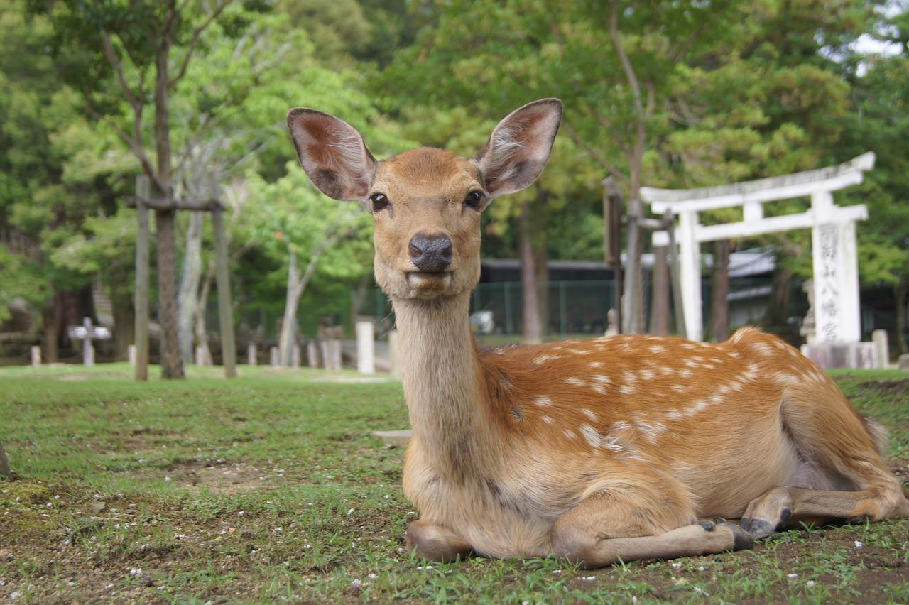 奈良公園のシカ